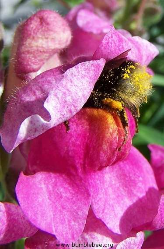 Bumblebee in a snapdragon flower