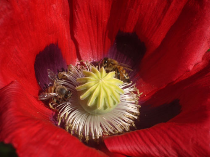 honey bee on a red poppy