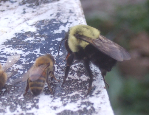 Bumble Bee on right, honeybee on left
